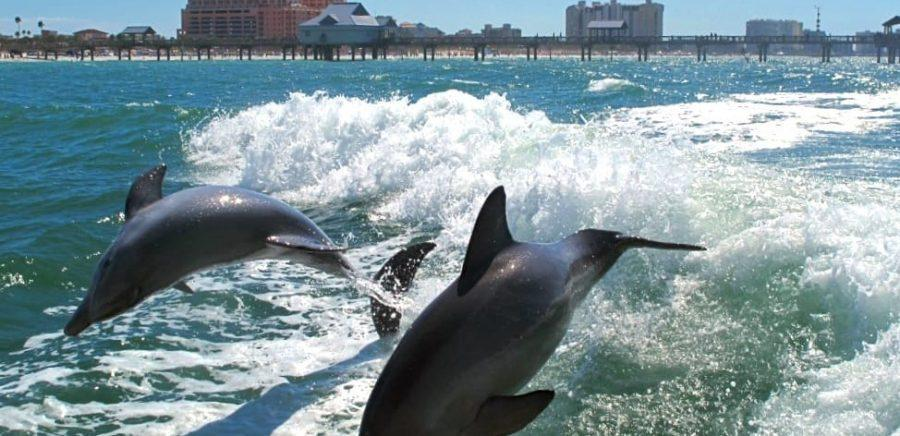 Dolphins at Clearwater Beach
